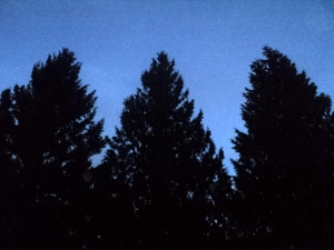 The trees in my backyard at dusk